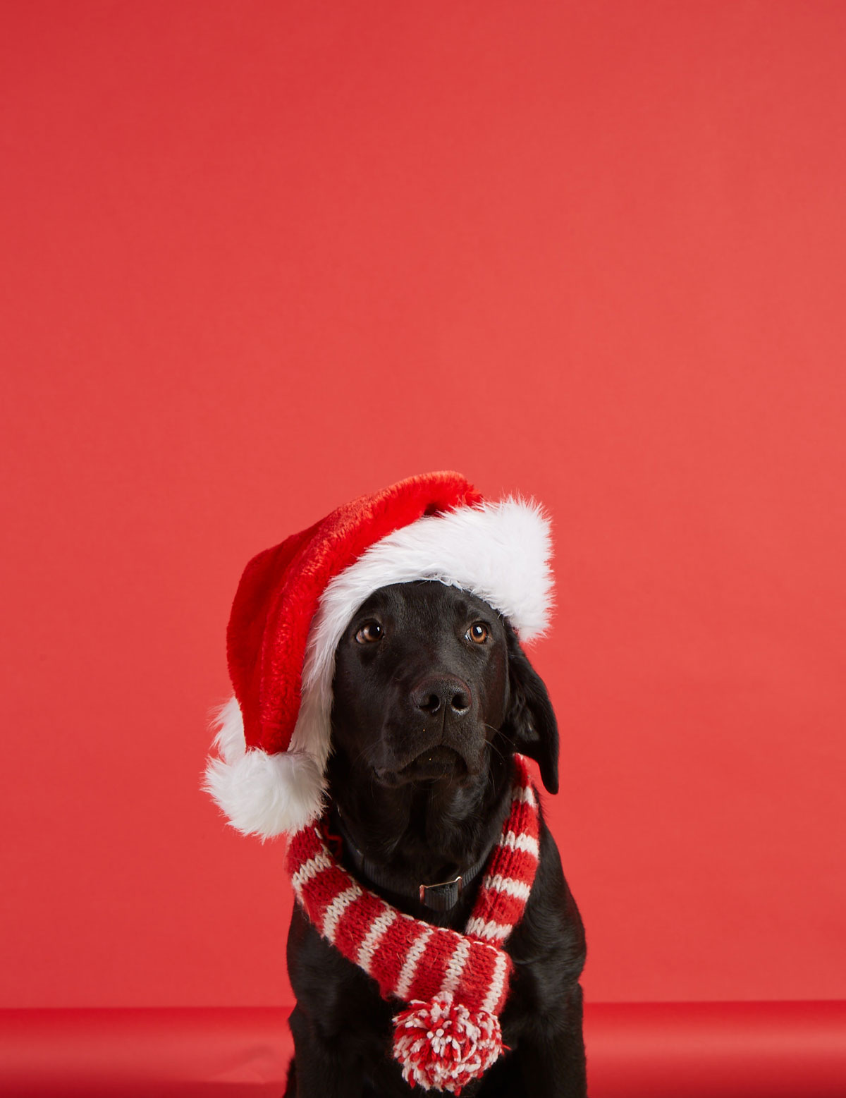 black lab dog in santa hat and red scarf